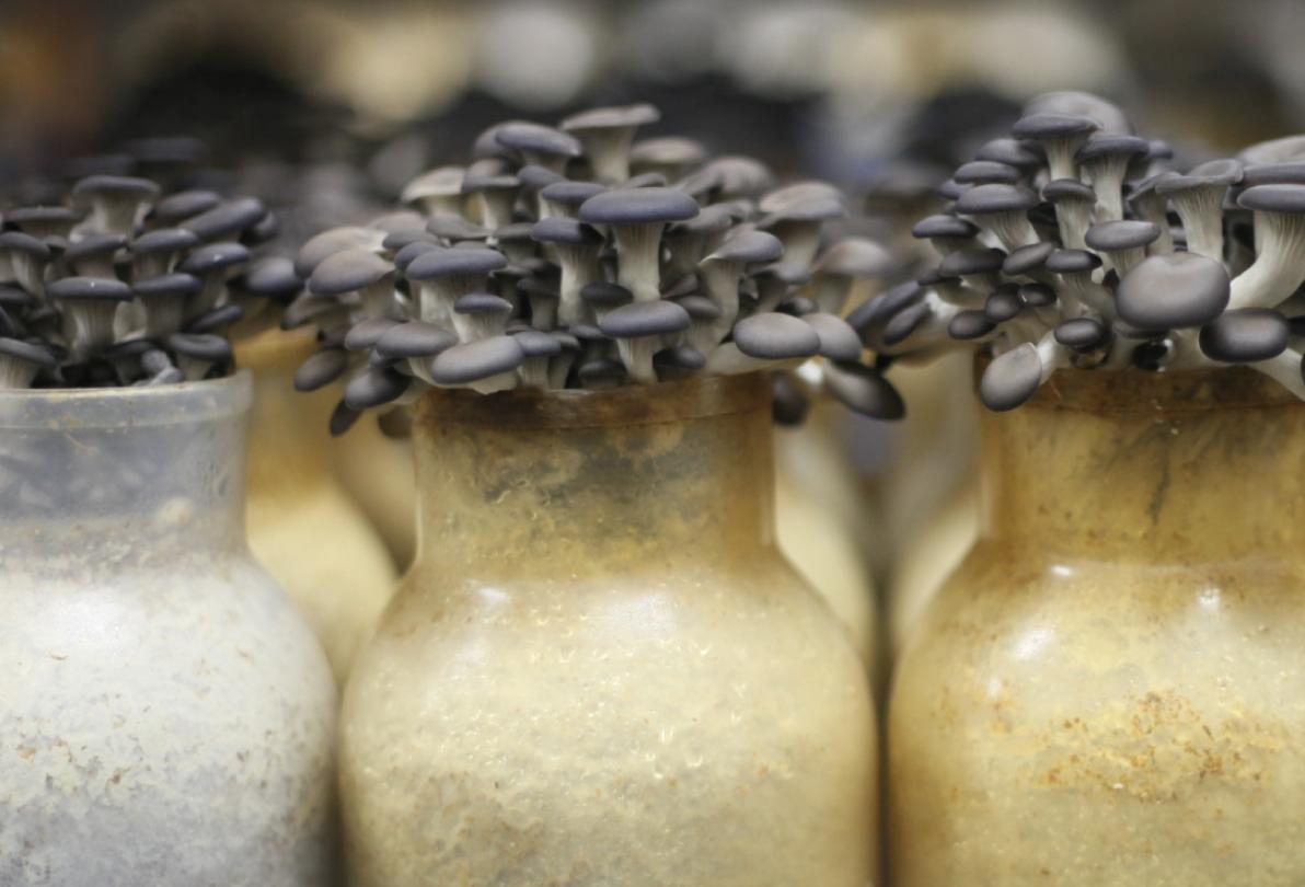 shimeji-preto--nayumi-cogumelos